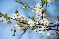 Цветение сливы Стоковое Изображение