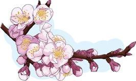 Цветение Сherry Стоковая Фотография RF