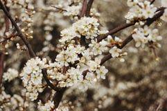 цветение терновника Стоковое Фото