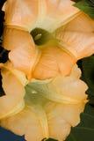 Цветение трубы Стоковые Фотографии RF