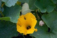 Цветение тыквы в Volpedo Италии Стоковая Фотография RF