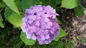 Цветение фиолета Kawaguchiko Стоковые Изображения