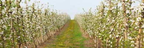 Цветение фруктового дерева в солнечности стоковое изображение