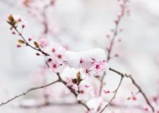 Цветение фруктового дерев дерева покрытое с снегом Стоковая Фотография