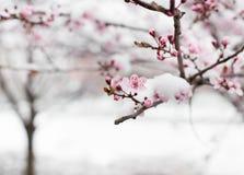 Цветение фруктового дерев дерева покрытое с снегом Стоковое фото RF