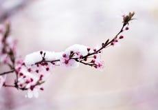 Цветение фруктового дерев дерева покрытое с снегом Стоковое Изображение RF