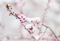 Цветение фруктового дерев дерева покрытое с снегом Стоковые Изображения