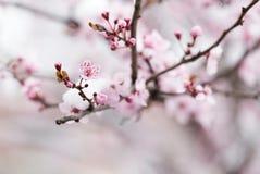 Цветение фруктового дерев дерева покрытое с снегом Стоковое Фото