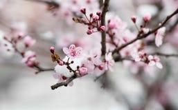 Цветение фруктового дерев дерева покрытое с снегом Стоковые Фото