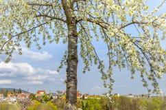 Цветение фруктового дерев дерева в ландшафте весеннего времени в Souther Pfalz Стоковые Фотографии RF