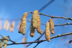 Цветение фундука Стоковое Фото