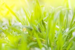 цветение цветет весна Зеленый цвет сезона в макросе солнечного дня Крупный план травы сада весеннего времени Пасха и может праздн Стоковое Изображение