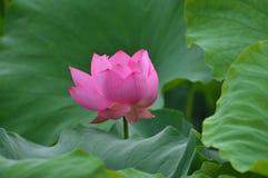 цветение цветет пинк лотоса Стоковые Фотографии RF