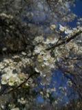 цветение цветет слива стоковые изображения