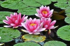 цветение цветет waterlily Стоковое Изображение RF