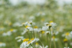 Цветение цветка белой маргаритки в саде Стоковое фото RF
