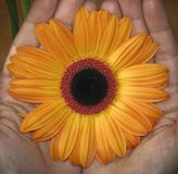 Цветение цветка в руках Стоковая Фотография
