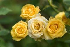 Цветение цветка желтых роз в саде Стоковое Изображение