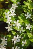 Цветение цветка лозы жасмина в утре Стоковое Изображение