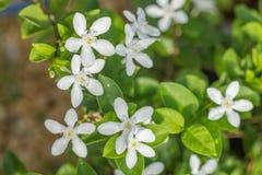 Цветение цветка лозы жасмина Стоковые Изображения RF