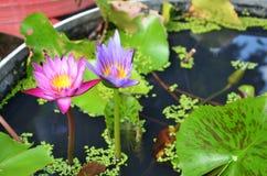Цветение цветка лотоса или лилии воды Стоковая Фотография RF