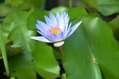 Цветение цветка лотоса или лилии воды Стоковое Фото