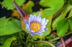 Цветение цветка лотоса или лилии воды Стоковые Изображения RF