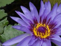Цветение цветка лотоса с лист в пруде Стоковое фото RF