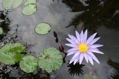 Цветение цветка лотоса с лист в пруде Стоковое Изображение RF
