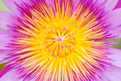 Цветение цветка лотоса Стоковые Фото