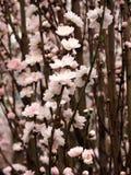 Цветение цветка персика Стоковые Фотографии RF