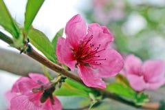Цветение цветка персика Стоковая Фотография