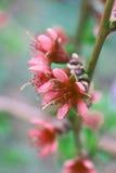 Цветение цветка персика Стоковое Изображение RF