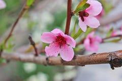 Цветение цветка персика Стоковые Изображения