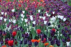 Цветение цветка растя покрашенная весна тюльпана Стоковые Изображения
