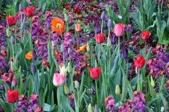 Цветение цветка растя покрашенная весна 3 тюльпана Стоковая Фотография