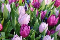 Цветение цветка растя покрашенная весна 2 тюльпана Стоковое Фото