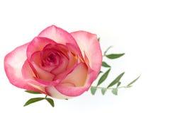 Цветение цветка розы пинка при листья изолированные на белом backg стоковое изображение rf