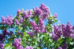 Цветение цветка сирени Стоковые Изображения RF