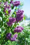 Цветение цветка сирени Стоковые Фотографии RF