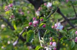 Цветение цветка Яблока на времени весны стоковые изображения rf