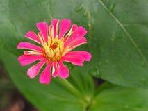 Цветение цветка Elegans Zinnia Стоковая Фотография