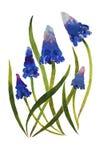 Цветение цветка Muscari засаживает illustraion акварели на бумаге Стоковое Изображение RF