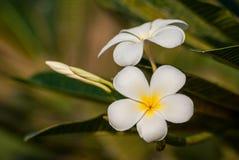 Цветение цветка Plumeria Стоковые Фото