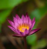 Цветение цветка Waterlily. Лотос тропического завода стоковое фото