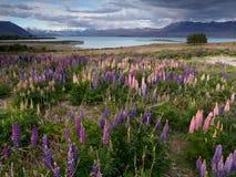 Цветение люпина на береге озера озера Tekapo, Новой Зеландии Стоковая Фотография
