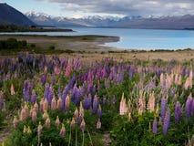 Цветение люпина на береге озера озера Tekapo, Новой Зеландии Стоковые Фото