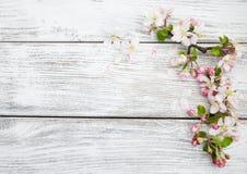 Цветение Яблока весны Стоковое Изображение