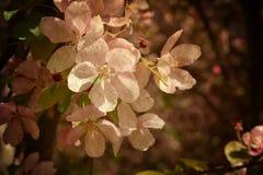 Цветение Яблока в ретро стиле Винтажная карточка на старой бумаге Стоковое Фото