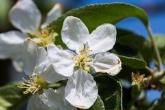 Цветение Яблока в саде Стоковое Изображение